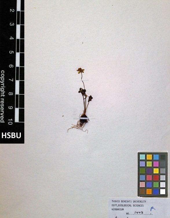 HSBU 1447