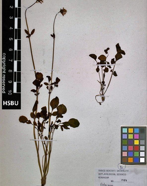 HSBU 1484