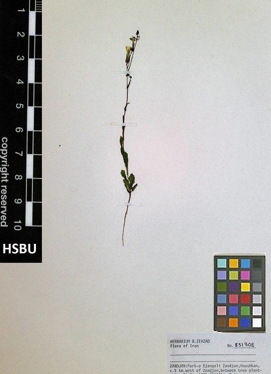 HSBU 831308