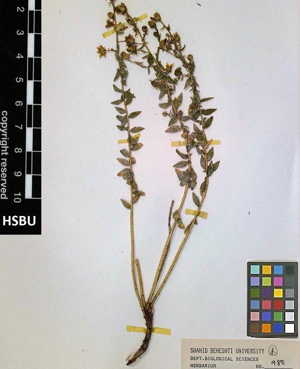 HSBU 982